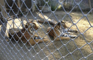 Environmental CCTV - Tiger Enclosure
